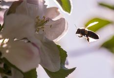 Bee on a gentle white flowers of apple tree - malus pumila. S Stock Image
