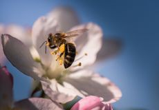 Bee on a gentle white flowers of apple tree - malus pumila. S Royalty Free Stock Images