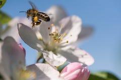 Bee on a gentle white flowers of cherry tree - prunus cerasus Stock Photos