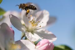 Bee on a gentle white flowers of cherry tree - prunus cerasus Stock Images