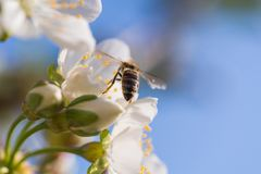 Bee on a gentle white flowers of cherry tree - prunus cerasus Royalty Free Stock Photography