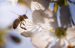 Bee on a gentle white flowers of cherry tree - prunus cerasus Stock Photography