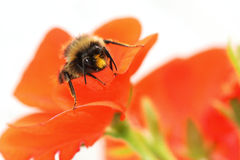 Bee and Geranium. A macro shot of a bumble bee emerging from the flower of a red geranium royalty free stock photos