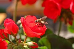 A bee on a geranium flower. A bee was flying around me. I( was annoyed but luckily it landed on a geranium flower stock photo