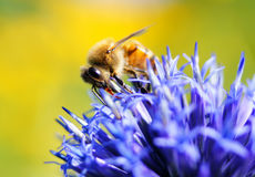 Bee on a globe thistle. Bee drinking nectar from the globe thistle flower Stock Photography