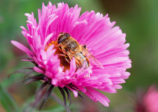 The bee on golden-daisy. Royalty Free Stock Photo