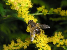Bee on goldenrod. Photo of bee on goldenrod Royalty Free Stock Image