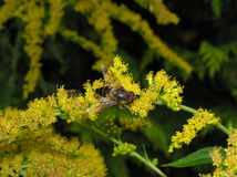 Bee on goldenrod Stock Photo