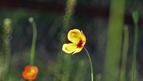Bee Gourmand.Fragile, delicate creature.Beautiful, gentle, field poppy.Red poppy on a green background.Poppy, textured front. stock video footage
