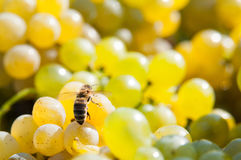 Bee on grapes Royalty Free Stock Images