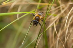 Bee in the grass. A Bee crawls along some blades of grass Royalty Free Stock Images