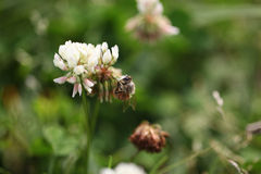 Bee on grass flower Royalty Free Stock Image