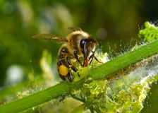 Bee on a grass Stock Photography