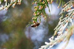 Bee on a green flower . Macro of honey bee on green flower. Macro of honey bee Apis feeding on flower Stock Image