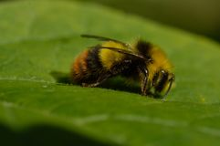 Bee on a green leaf stock images