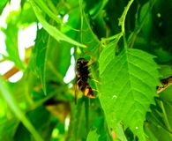 A bee on the green leave. In summer in shanghai huangxing park china royalty free stock photo