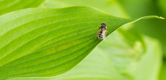 The bee on the green leaves Stock Photography