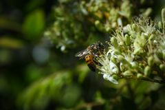 A Bee In The Green and White Flowers. Collecting pollen royalty free stock images