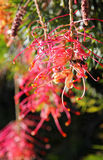 Bee and Grevillea Stock Photo