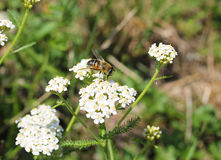 Bee on the ground elder Stock Photography