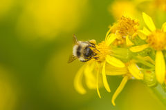 Bee On Groundsel. A bee lights on a Senecio bloom looking for nectar Stock Image
