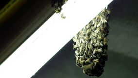 Bee grouping at the fluorescence bulb stock footage