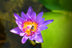 Bee habit with naural purple lotus Royalty Free Stock Photos