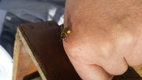 Bee. In hand Stock Image