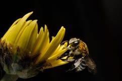 Bee. Hang yellow flower name chrysanthemum Royalty Free Stock Images