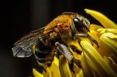 Bee. Hang yellow flower name chrysanthemum Stock Image