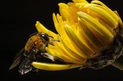 Bee. Hang yellow flower name chrysanthemum Royalty Free Stock Photos