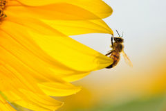 Bee hanging on the edge of a sunflower petals. Stock Photos