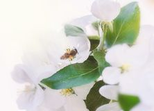 Bee on happy white apple blossom. Bee on happy white tender apple blossom at spring day stock images