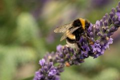A bee is hard at work and collecting nectar from Lavender flowers stock photo