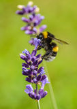 Bee. Hardworking bee on aromatic lavender Stock Image