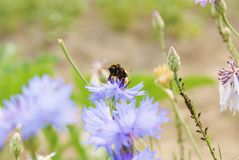 Bee. Hardworking bee is sitting on the cornflower Royalty Free Stock Image