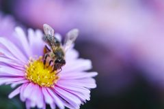 Bee harvesting pollen from blue flower. Nature Stock Image
