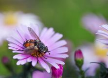 Bee harvesting pollen from blue flower. Nature Royalty Free Stock Image