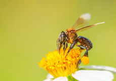Bee. A Bee harvesting Pollen on a flower, shoot this at Port Dickson malaysia Royalty Free Stock Images