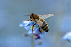 Free Bee Harvesting Pollen Form A Flower Royalty Free Stock Photography - 14620637
