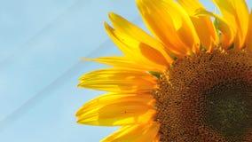 Bee harvesting pollen stock footage