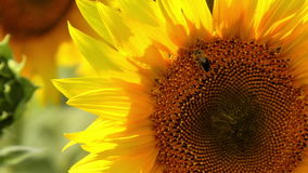 Bee harvesting pollen stock video