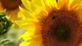 Bee harvesting pollen stock video footage