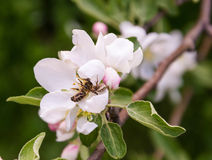 Bee has fallen into the clutches of the spider on the flower of the Apple tree. Spider caught a bee on the Apple blossom. Fighting insects. Survival. Spring stock photography