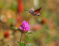 Bee Hawk-moth Royalty Free Stock Images