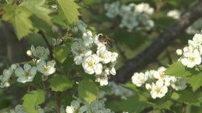 Bee on hawthorn. stock footage