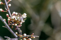 Bee on Hawthorn Stock Photos