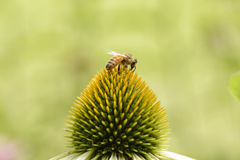 Bee on a head of echinecea flower. Closeup of bee on a head of echinecea flower Royalty Free Stock Image