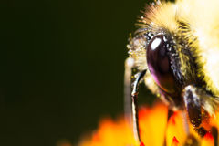 Bee head eye and hair on black background Stock Photos