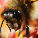 Bee head macro Royalty Free Stock Photos
